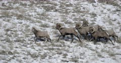 five massive bighorn sheep rams chase a ewe during the winter rut