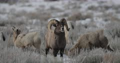 a massive bighorn sheep ram flehmens and walks into the camera during the winter rut