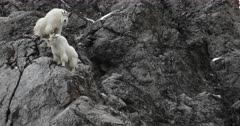 two rocky mountain goats ascend a steep rock face