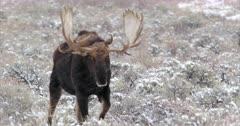 a massive bull moose walks through the snow into the camera lens
