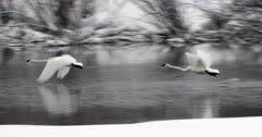a pair of trumpeter swans taking off in slow motion