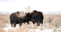 a massive bull moose spars in a winter blizzard