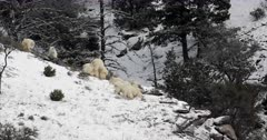 extremely rare footage of mate/mating rocky mountain goats