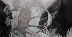 bull moose fighting/sparring in the snow