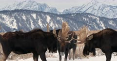 three bull moose fighting/sparring in the snow
