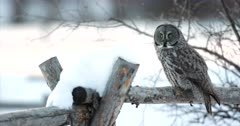 great gray owl flies off in the snow