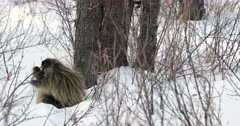 porcupine eating twigs in the fresh snow