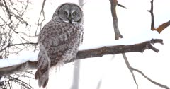 Great gray owl perched on snowy branch