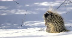 porcupine in deep fresh snow and morning light