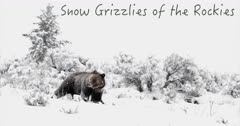 Snow Grizzlies of the Rockies  4K
