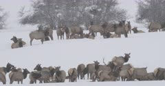 large herd of elk in the snow panned from right to left