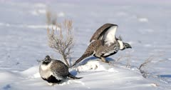male sage grouse in deep snow spreading wings