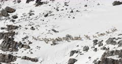herd of bighorn sheep are stalked by a pack of coyotes