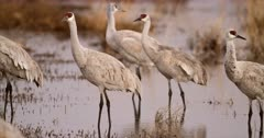 Greater Sandhill Cranes