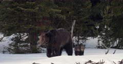 grizzly bear mom #863 and her 2 tiny cubs emerge from the den, first day out