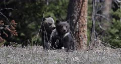 grizzly bear #863 and her 2 cubs of the year 2019