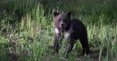 Grizzly Bear cub/COY is orphaned by his mother