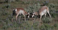 Buck Pronghorn fighting