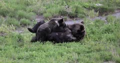 Grizzly sow reunites with her long lost cub/COY Pepper and nurses