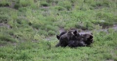 Grizzly sow #863 reunites with her long lost cub/COY Pepper and nurses