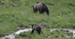 Grizzly sow #863 reunites with her long lost cub/COY Pepper