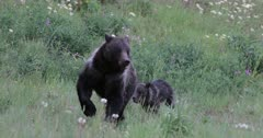 Grizzly sow #863 reunites with her long lost cub/COY Pepper and run toward the camera