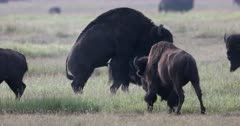 Bull bison mating with cow during August rut