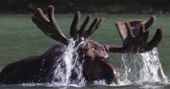 Bull moose dipping antlers in pond/slow motion