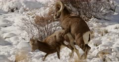 Bighorn sheep ram mating with ewe in the snow