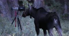 Moose rut/Bull moose/Fall