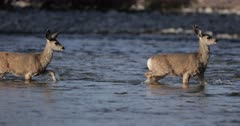 Mule deer doe and fawns cross river