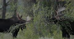 Moose rut/Bull Moose/Mating/Fighting