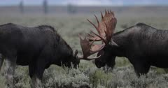 2 massive bull moose sparring with bloody antlers