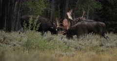 3 massive bull moose fighting with bloody antlers