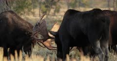 3 massive bull moose sparring during the fall rut