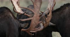 3 massive bull moose sparring during the fall rut with bloody antlers
