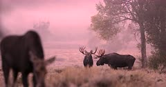 2 massive bull moose with cows at sunrise in the fog/mist