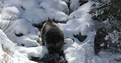 a grizzly sow #863 and cub/COY walk through the deep October snow