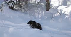 a grizzly cub/COY walks through the deep October snow