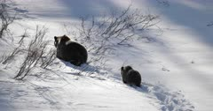 a grizzly sow #863 with cub/COY walk through the deep October snow