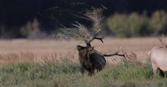 massive bull elk tosses grass in the air during the rut