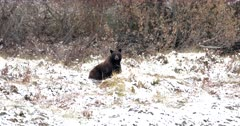 large black bear stops to look at the camera as it walks away in the fresh snow