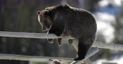 grizzly bear #863 and her cub/COY climb on a buck rail fence in the snow