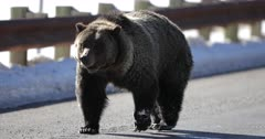 grizzly bear #863 and her cub/COY walk the road/highway