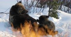 grizzly bear #863 nurses her cub/coy on the alpine tundra