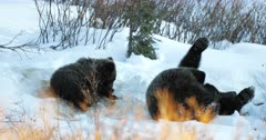 grizzly bear #863 and her cub/coy roll in the snow on the alpine tundra