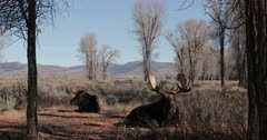 Massive resting bull moose (wide angle) Tetons in the background