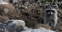 Young raccoons play at the edge of the stream