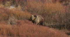 Grizzly #399's cub heads toward her winter den