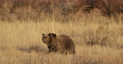 Grizzly cub heads toward her winter den
